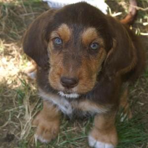 C Litter Otterhound Puppy, Cheyenne