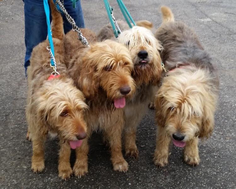 More Hunter Otterhounds Coming!