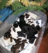 D Litter Christmas Otterhound  Puppies Week 2
