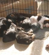 D Litter Otterhound Puppies are 5 Weeks Old!