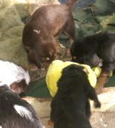D Litter is now 6 Week Old Otterhound Puppies