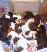 D Litter Otterhounds are 8 Weeks Old