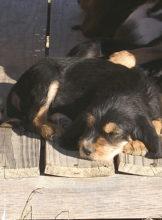8 weeks, D Litter Otterhounds,  Pup 3, Dora