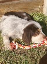 8 weeks, D Litter Otterhounds,  Pup 4, Diana
