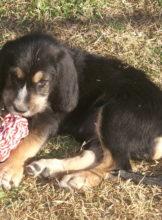 8 weeks, D Litter Otterhounds,  Pup 7, Dawn