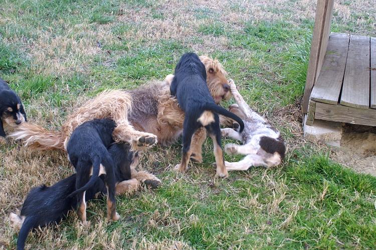 9 Week Old Otterhound Puppies