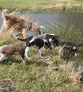 12 Week Old Otterhounds