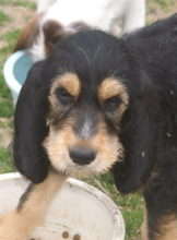 D Litter Pup 3 Dora at 12 Weeks