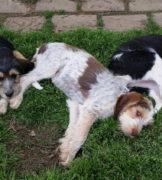 Four Month Old Otterhound Puppies