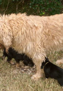 E Litter Otterhound Girls are 6 weeks old