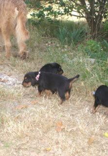 E Litter 5 Week Old Otterhound Puppies