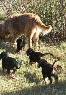 E Litter Otterhound 7 Weeks Old