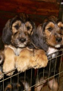 E Litter Otterhound Girls are 10 Weeks Old