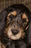 Emilee Otterhounds 12 Weeks