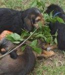 Hunter Otterhound Litter F is 5 Weeks Old