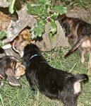 Hunter Otterhound Litter F at 8 Weeks
