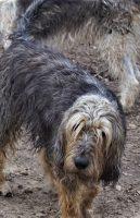 Emilee Otterhound face 1_14_20