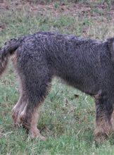 Forest tracking otterhound 6 months