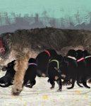 G Litter Otterhound Puppies Texas 2 Weeks