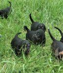 G Litter Are 5 Week Otterhound Pups