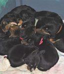Four Week Old Otterhounds G Litter