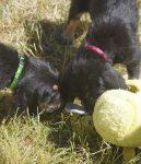 7 Week G Litter Otterhound Puppies Play