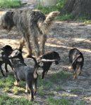 Hunter Otterhound Puppies 9 Weeks Old