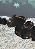 Jazz Otterhound Puppies are 2 Weeks Old