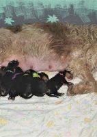 Texas Otterhound Puppies 1 Week