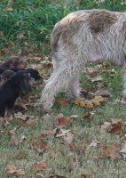H Otterhound Litter Turn 6 Weeks