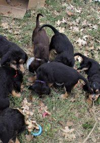 Hunter Otterhounds H Litter turn 7 weeks