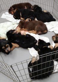 Ten Week Otterhounds H Litter