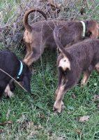 12 Week Christmas Otterhound Puppies