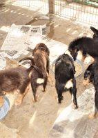 Otterhound Puppies Nine Weeks